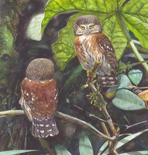 cabure de Pernambuco Galucidium mooreorum aves de Brasil en extincion