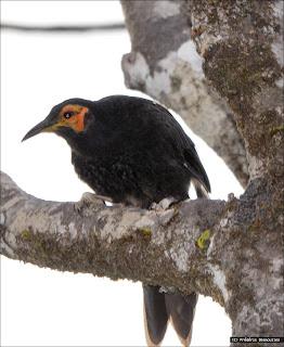 mielero cuervo Gymnomyza aubryana