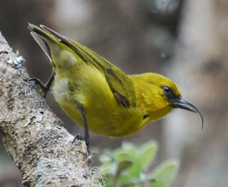 akiapolau Hemignathus wilsoni aves en extincion de Hawaii