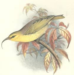 nukupuu Hemignathus lucidus aves en extincion de Hawaii birds of Hawaii
