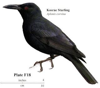 Kosrae starling