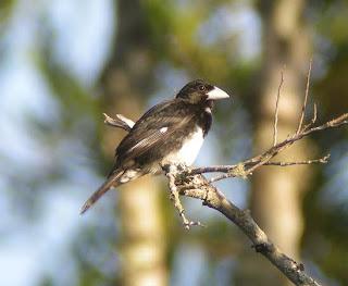 frutero de pico cono Conothraupis mesoleuca aves de Brasil en peligro de extincion