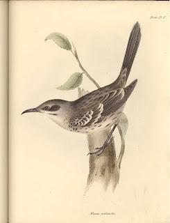 sinsonte de San Cristobal Mimus melanotis aves de las galapagos en extincion