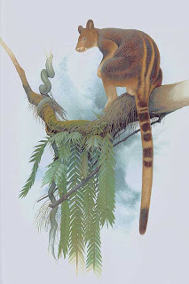Goodfellow´s tree kangaroo
