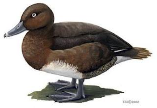 porron malgache Aythya innotata aves de Madagascar en extincion