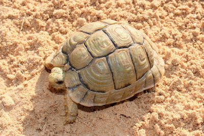critically Egyptian tortoise