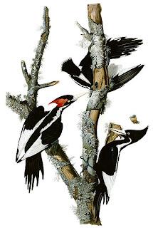 pico de marfil Campephilus principalis aves de america en extincion