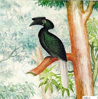 calao sulu Anthracoceros montani aves de Filipinas en peligro de extincion