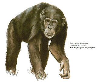 chimpance Pan troglodytes