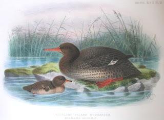 serreta de Auckland Mergus australis aves de Nueva Zelanda extintas