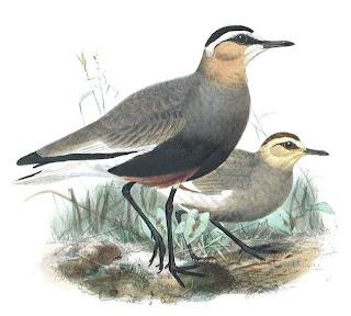 avefria sociable Vanellus gregarius aves de Asia en extincion