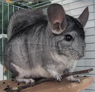 Short tailed Chinchilla