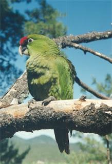 cotorra serrana occidental Rhynchopsitta pachyrhyncha aves de america en extincion