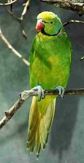 perico de Reunion Psittacula eques aves en extincion de Mauricio y Reunion