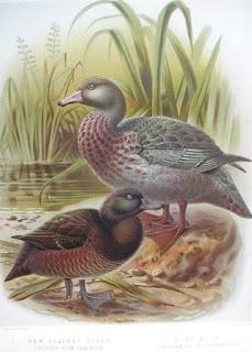 pato azul Hymenolaimus malacorhynchus new zealand endangered birds