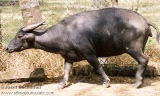 bufalo de mindoro Bubalus