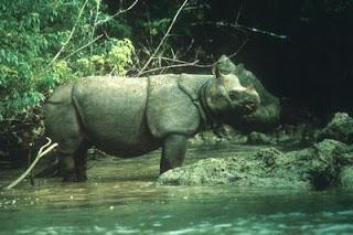 rinoceronte de la sonda Rhinoceros sondiacus