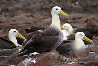 albatros de las Galápagos Phoebastria irrorata aves de Las Galápagosn en extinción