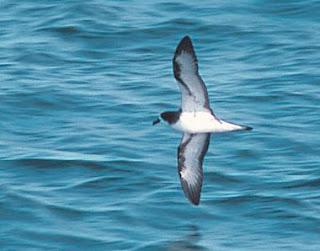 perel de las Galapagos Pterodroma phaeopygia aves críticas