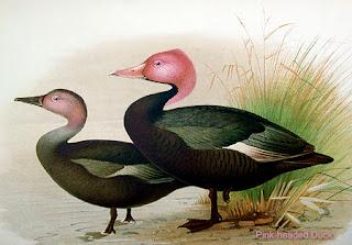 pato de cabeza rosada Rhodonessa caryophyllacea extinction ducks