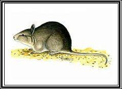 extinct potoroos