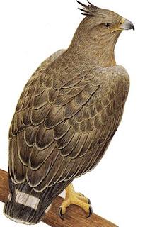 aguila coronada Buteogallus coronatus aves de america en extincion