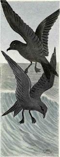 paiño ceniciento Hydrobates homochroa aves de Mejico en extincion