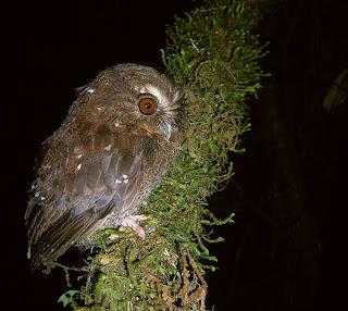 mochuelo peludo Xenoglaux loweryi aves en extincion de Peru