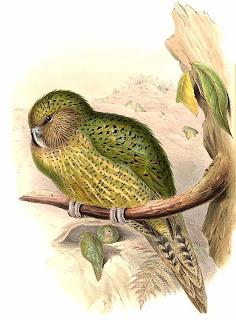 kakapo Strigops habroptila aves de Nueva Zelanda en peligro de extincion