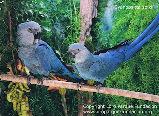guacamayo azul aves en extincion de Brasil Cyanopsitta spixii