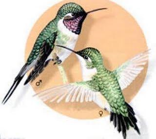 colibri hada de cara rosada Eulidia yaerrellii aves de Perú en extincion