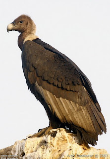 White rumped vulture