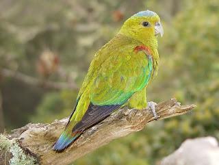 Indigo winged parrot