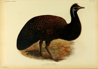 emu de la isla Canguro Dromaius baudidianus