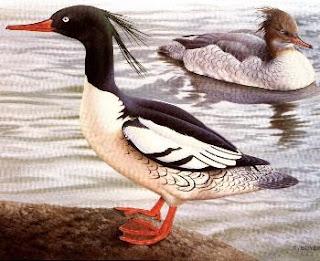 Serreta china Mergus squamatus patos de Asia en peligro de extincion
