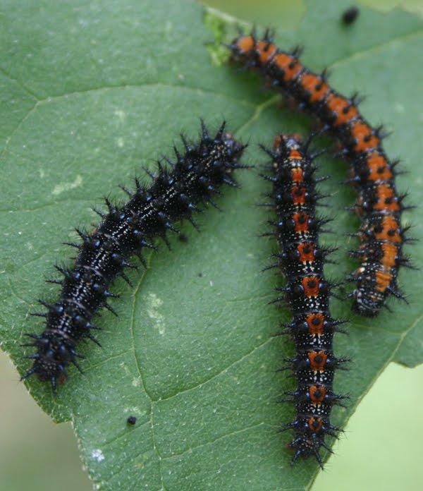 eucharitid wasp and caterpillar symbiotic relationship