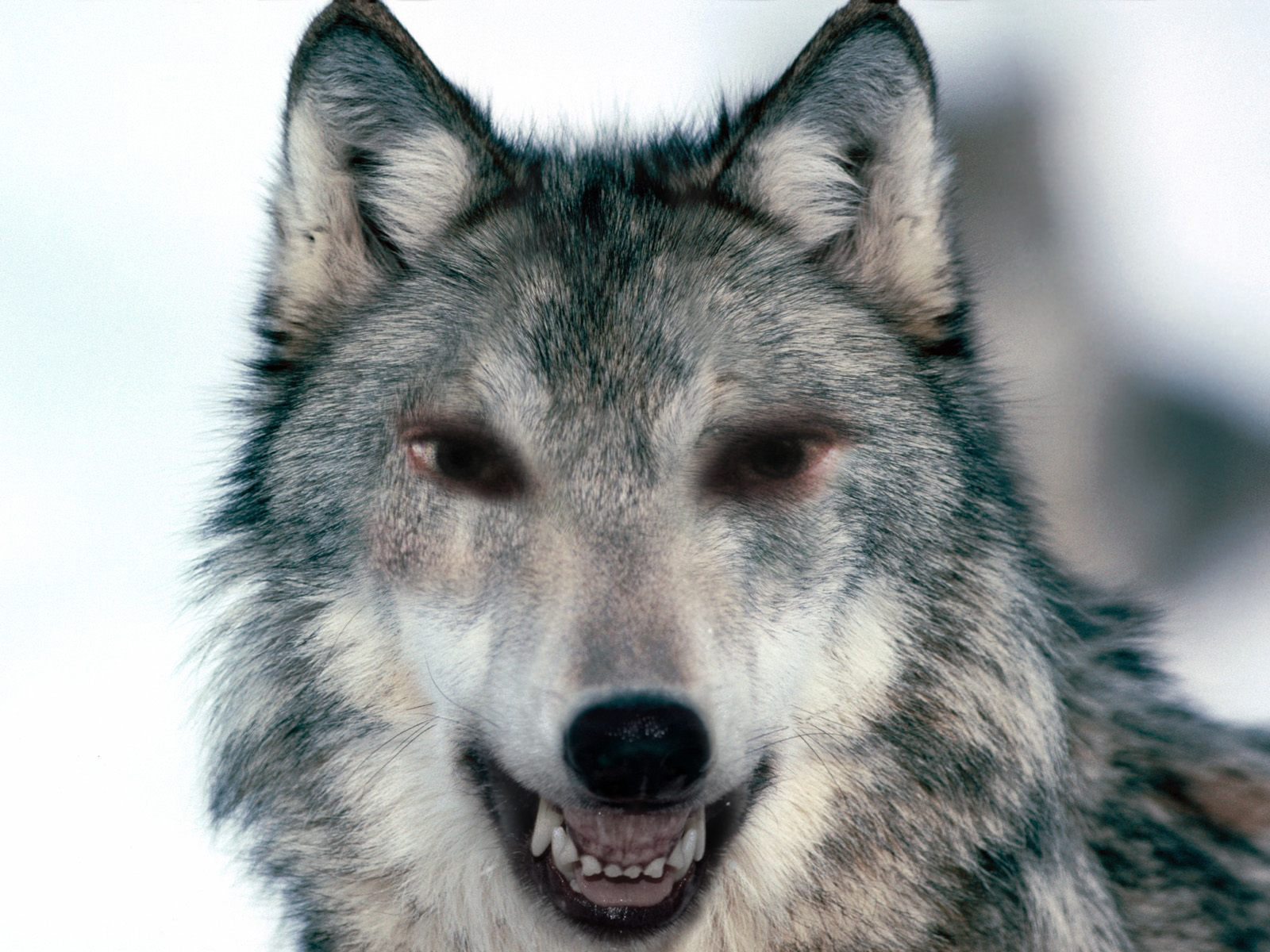 Snarling Wolf Profile