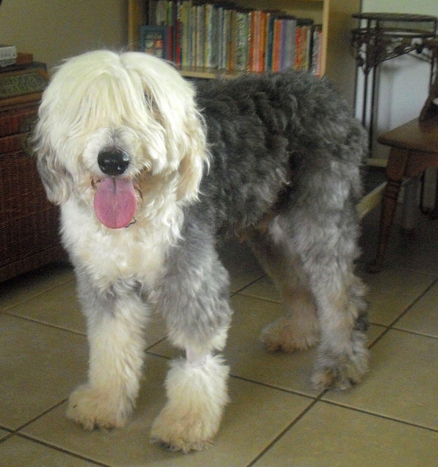 Tippy the Old English Sheepdog | The Dog Liberator™