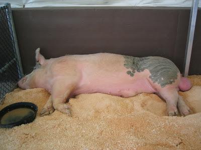 Sleepy piggy...