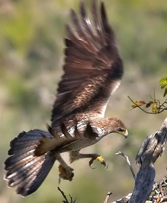 CRW_0982_Bonelli_eagle