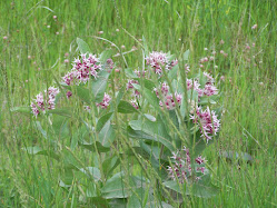 MANITOBA WILDFLOWERS - ManitobaAlive is a stock photography site