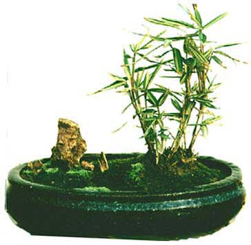 bamboo bonsai