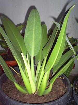 Philodendron Katak