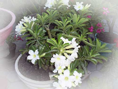tanaman adenium