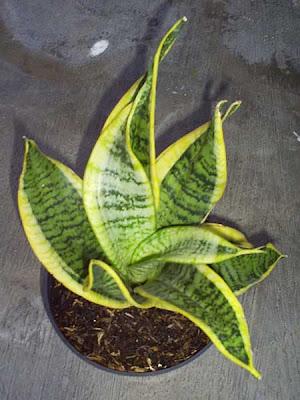 Sansivera Plant Twister Sister