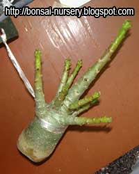 Adenium repairing root step2