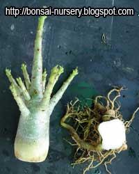 Adenium repairing root step1