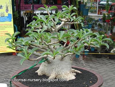 Adenium Thai Socotranum
