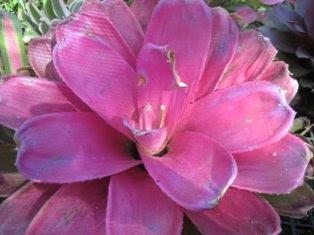 Bromeliad Hybrid