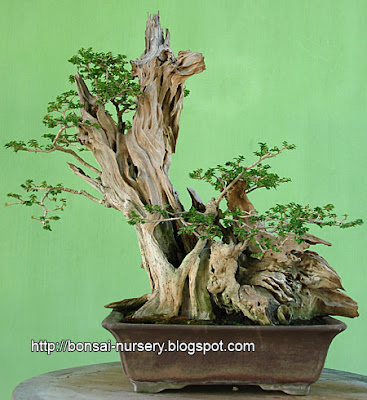 Bonsai Wahong